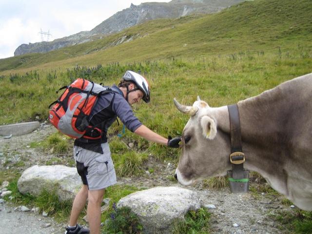 Kuh auf dem Septimerpass